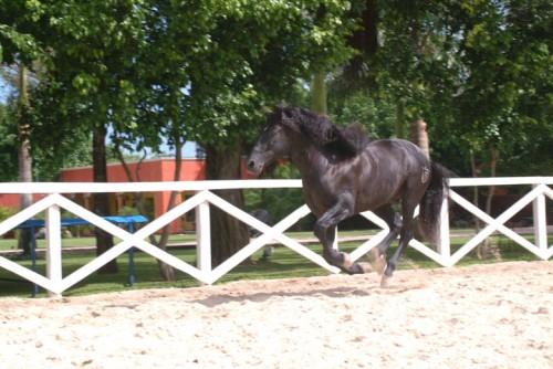 Caballo enjoys a run after providing a horseback riding vacation to Hacienda Tres Rios guests
