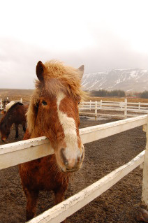 Icelandic Pony Waiting to Go on a Horseback Riding Vacation