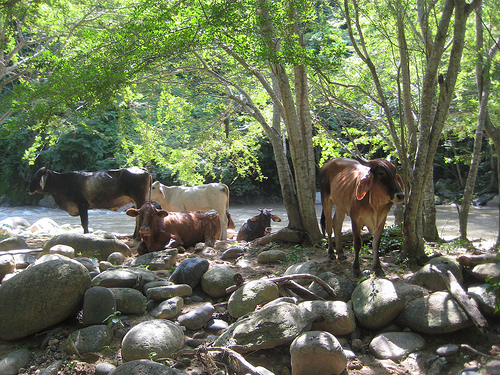 You might see cows along Las Palmas River during your horseback riding vacation