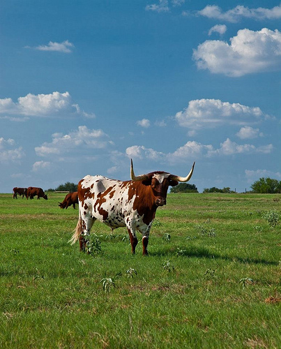 Exotic animals and Long Horn cattle roam the 2,800 acre Picosa Ranch south of San Antonio, Texas.