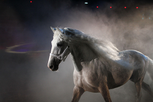 The Pure Spanish Horse was prized by medieval royalty for its astonishing strength, agility and even temperament.