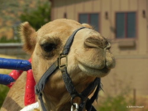 A day at the camel races. Not your typical horseback riding vacation.