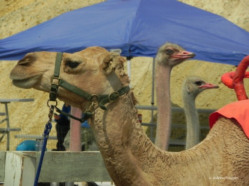 The International Camel Races also feature ostrich and zebra races