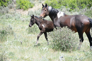 Mare and foal from the Little Book Cliffs wild Mustang herd