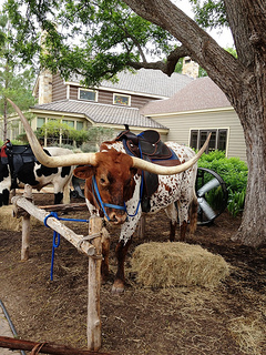 T-Bone the Longhorn at the Lost Pines Resort hitching post