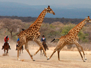 Have you always wanted to canter with Giraffes on a horse riding holiday in Africa?