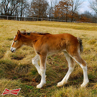 """""""Budweiser Clydesdale foal"""""""