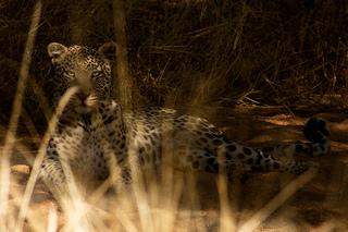 """Kalahari leopard"""