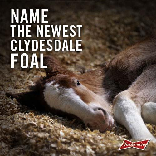 """""""Clydesdale foal"""""""
