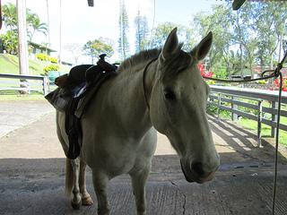 """Travaasa Hana horse"""