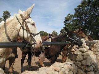 """Grand Canyon mules"""""""