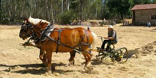 Beauty Ranch Draft Horses