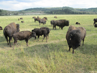 bison, jackson fork ranch, wyoming
