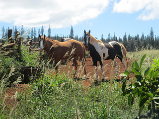 horses, Lanai, Hawaii