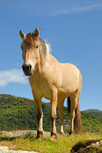 """Fjord horse"" Bergen, Norway, Øvre Eide Farm"