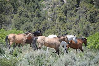 """wild horses """"Colorado"""""""