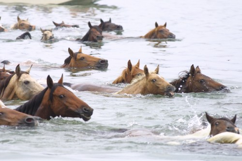 """wild horses"" Assateague, virginia"