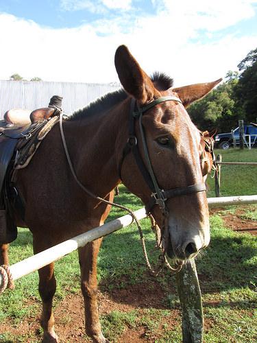 Molokai mule
