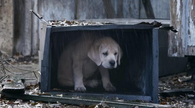 Labrador retriever, dog