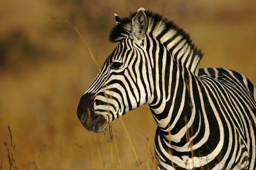 zebra, Ngoma Safari Lodge, Botswana, Africa