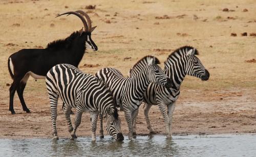Africa, safari, zebra