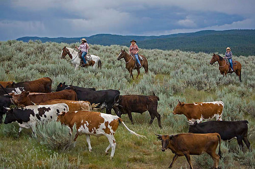 cattle drive, horseback riding vacation, paws up