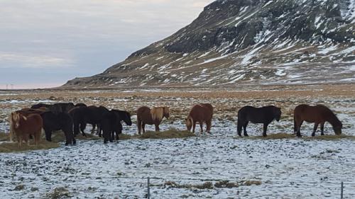 iceland, icelandic ponies, horses, winter