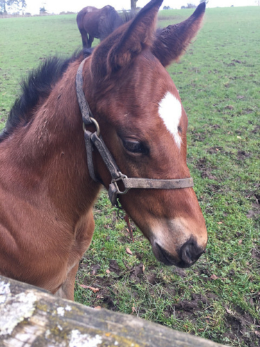 foal, filly, horse, irish national stud, thoroughbred horse, county kildare, ireland