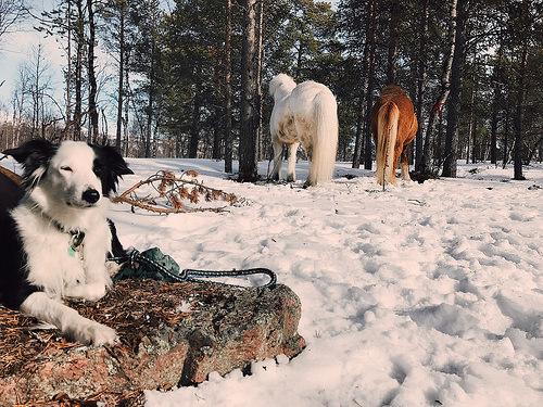 dog, icelandic horses, horses, horse riding sweden, icelandic horse riding, ofelas icelandic horse, kiruna,lapland