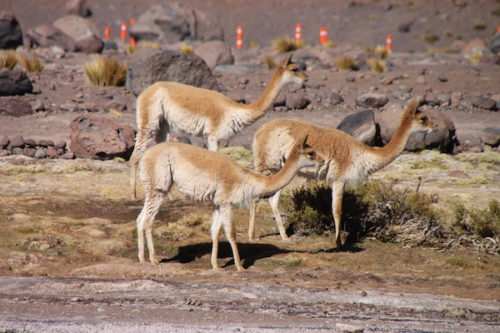 vicunas, tatio geysers, atacama desert, northern chile, explora atacama vacation
