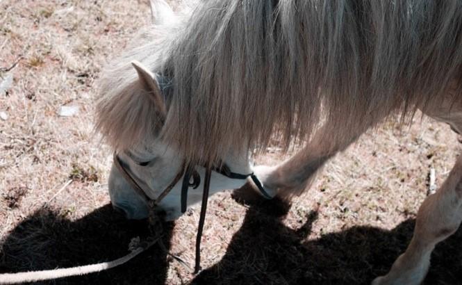 mongolian horse, white horse, mongolian pony, mongolia horseback riding vacation