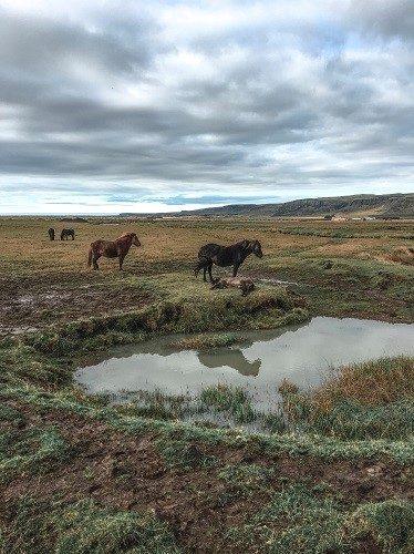 icelandic horses, hveragerdi near reykjavik,