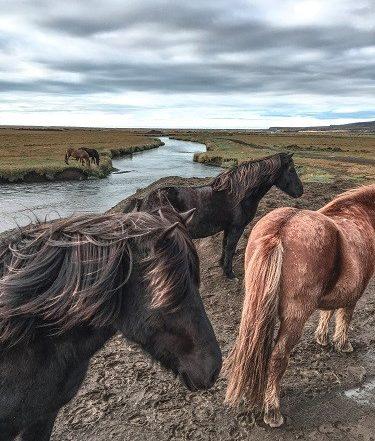 icelandic horse, eldestar, horses, hveragerdi, iceland