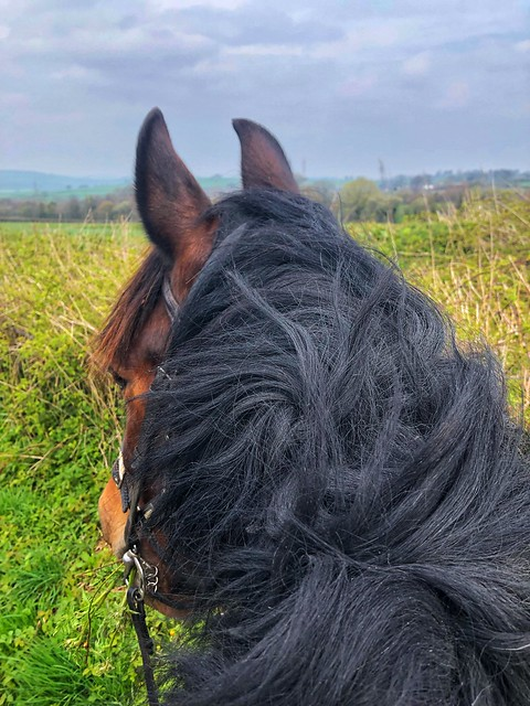 welsh cob cross horse head, horse mane and ears looking at welsh countryside, brecon beacons national park horse riding
