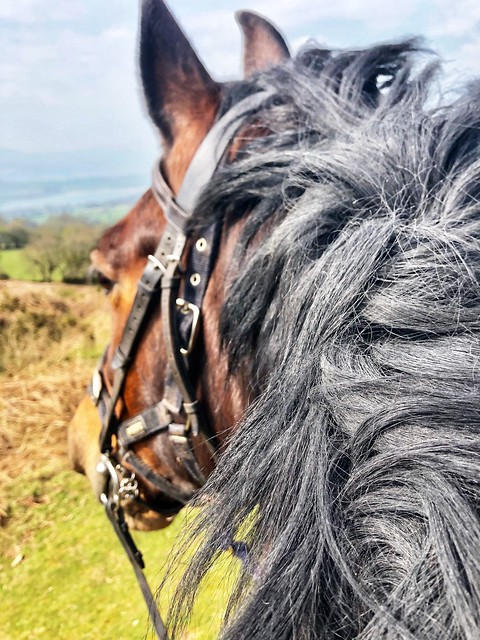 welsh cob horse, brecon beacons national park horse riding, horse head with english bridle, thick black mane