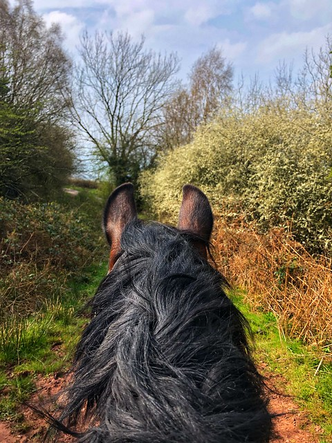 welsh cob horse head black mane, spring time llangorse, countryside horseback ride