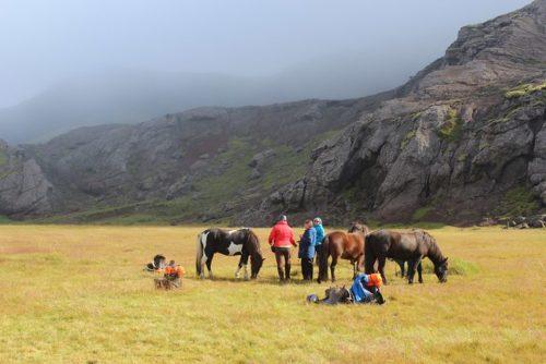 horses graze, equestrian lunch break, thingvellir national park horse ride