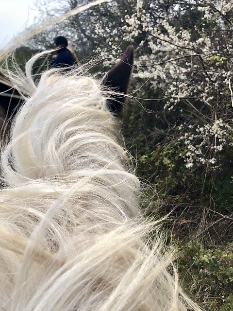 wind-blown horse mane, spring blossoms, horse riding in pembrokeshire