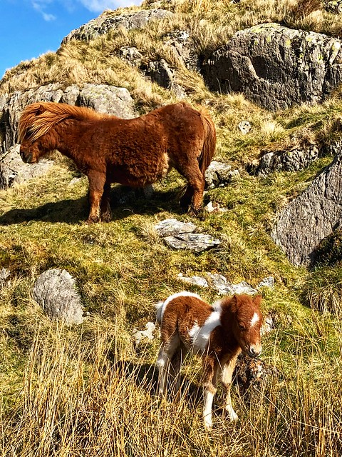 welsh carneddau mountain ponies, horse and foal snowdonia national park northern wales