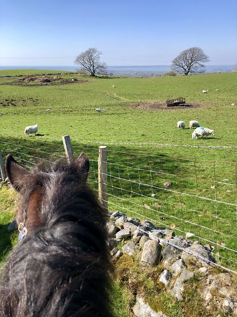 horse riding and sheep in north wales, ponk trekking snowdonia riding stables, horse riding welsh cobb, wales horse holiday