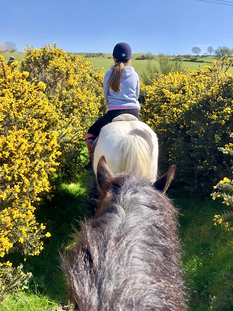 snowdonia national park horseback riding, snowdonia riding stables pony trekking, welsh cobb horse, scotch broom in northern wales, spring trail ride