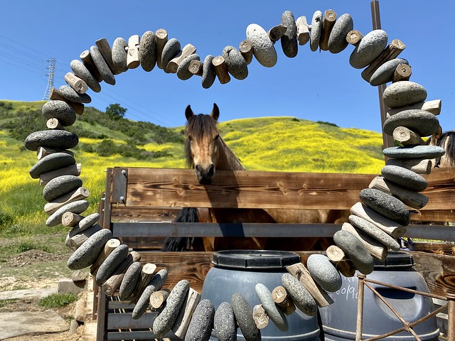 Lone horse in corral, looking through rock-shaped heart with mustard flowers on hillside in northern California.