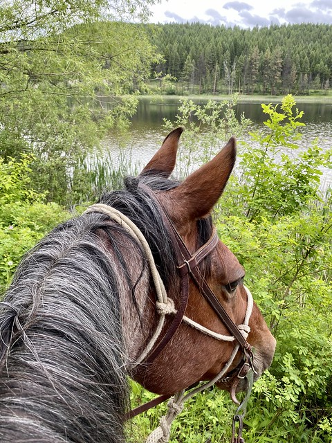 Bay roan horse looks to Spencer Lake while horseback riding at Bar B Ranch in Whitefish, Montana