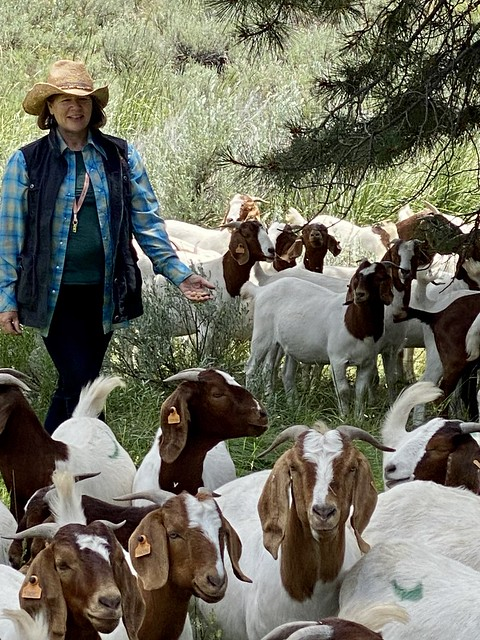 Travel Writer Nancy D. Brown herding Silvies American Range goats in Senaca, Oregon.