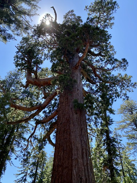 The Grizzly Giant is a sequoia tree in Mariposa Grove, Yosemite National Park. It measures 209 feet tall and 28 in diameter in Madera County, California.