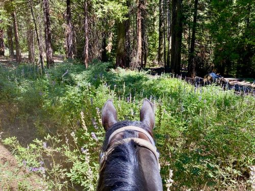 Yosemite horseback riding in Sierra National Forest as seen from between the ears of a horse in Mariposa Grove, surrounded by lupine flowers and sequoia trees.