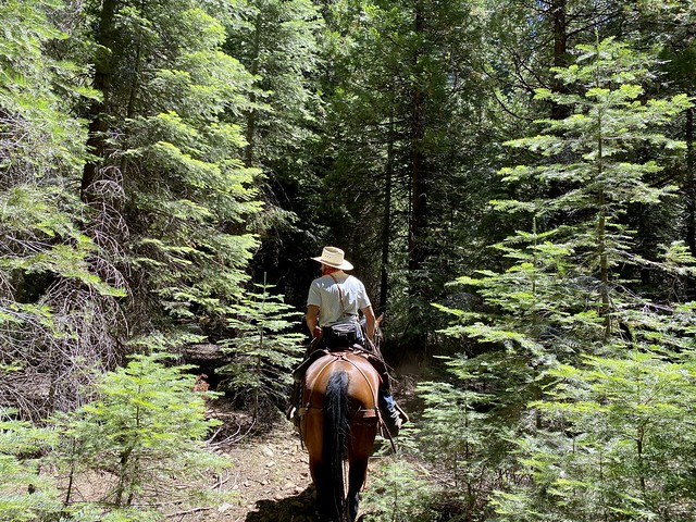 Wrangler Mitch Makenson surrounded by giant Sequoia trees in Mariposa Grove, Yosemite National Park, while on horseback.